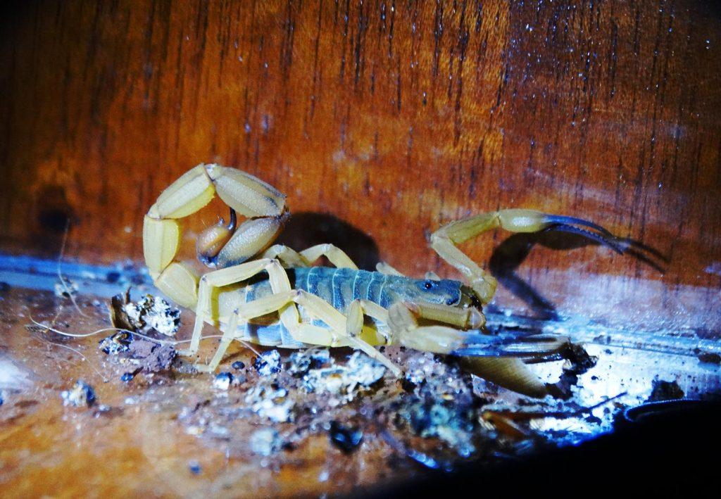 Escorpião visto com luz natural