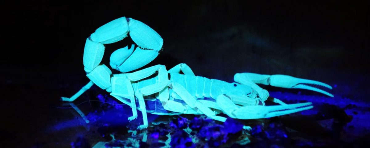 Escorpião visto com luz negra