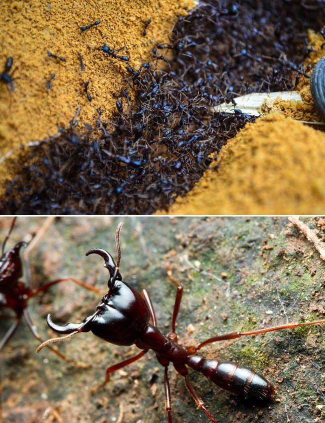 Formigas Africanas